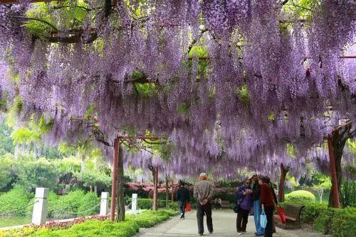 这种紫色的花, 种在阳台、庭院, 完全可以当做门帘用!