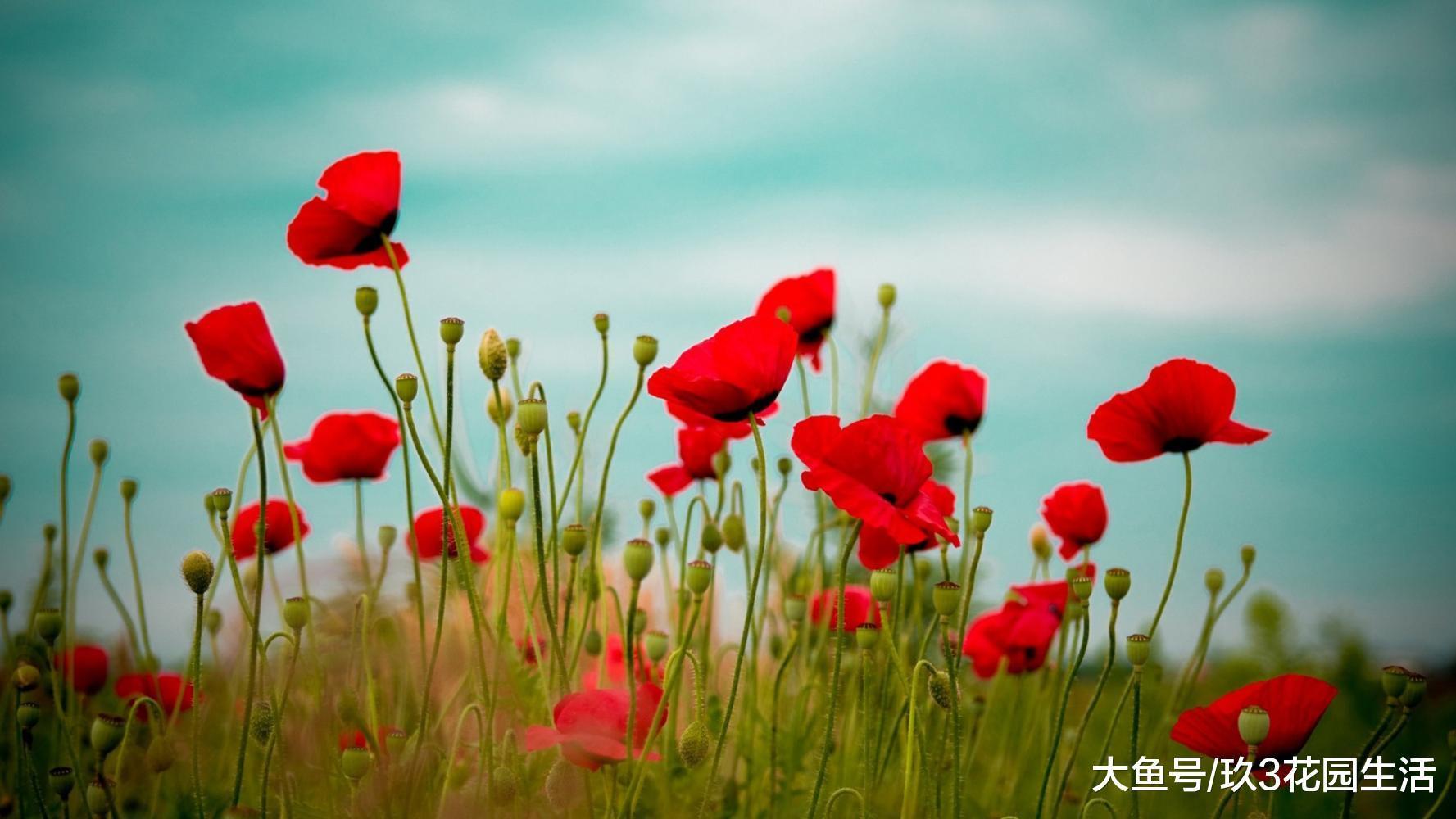家居养花之满园春――虞美人