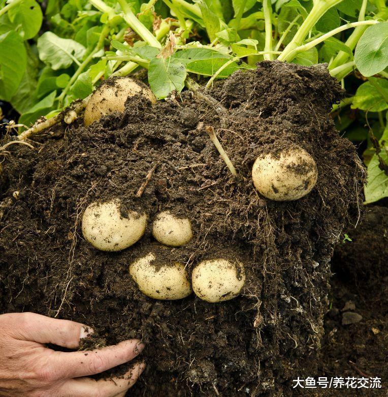 用塑料桶、塑料袋在家里种土豆, 掌握这种方法, 几个月收获满满