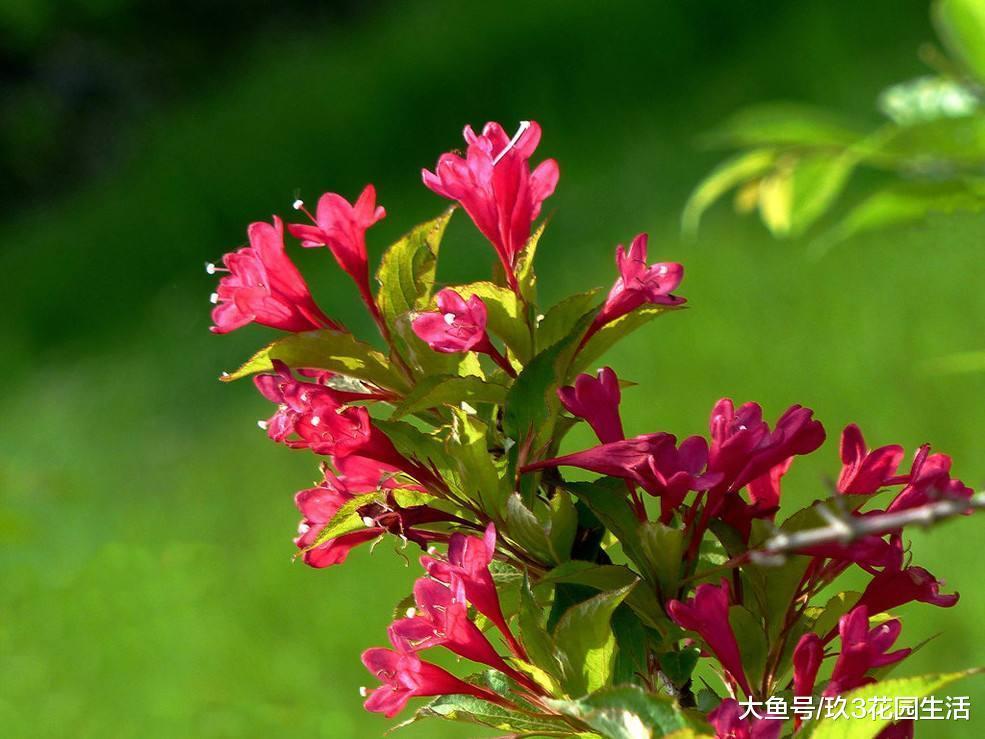 家居养花之五色海棠――锦带花