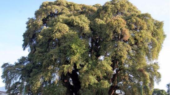"""2000年前种下树,历经了无数的考验,如今长成600多吨""""巨无霸"""""""