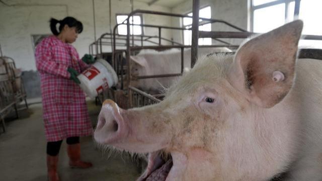 """猪价11月开始飘绿,""""猪肉泡沫""""将破灭?2020年猪价会怎样?"""