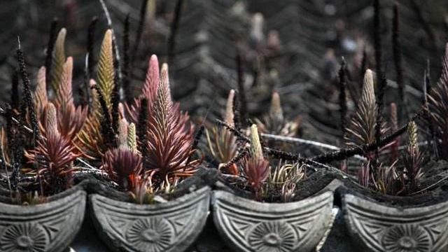 在家养瓦松盆栽,不如种卷柏,适应能力强,又被称作