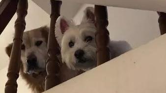 每次一出门,家里的两个狗子就这副表情...再也不敢外出了!