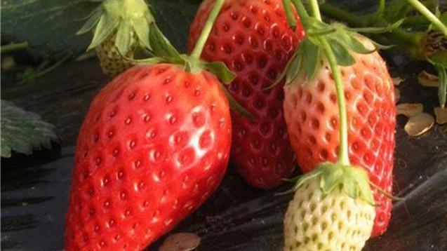 怎么样培育草莓,才能够提高它的产量