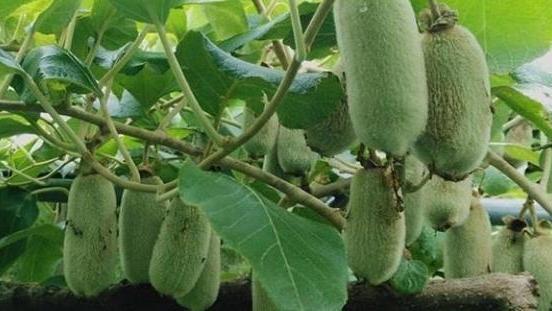 猕猴桃溃疡病病症及综合防治方法