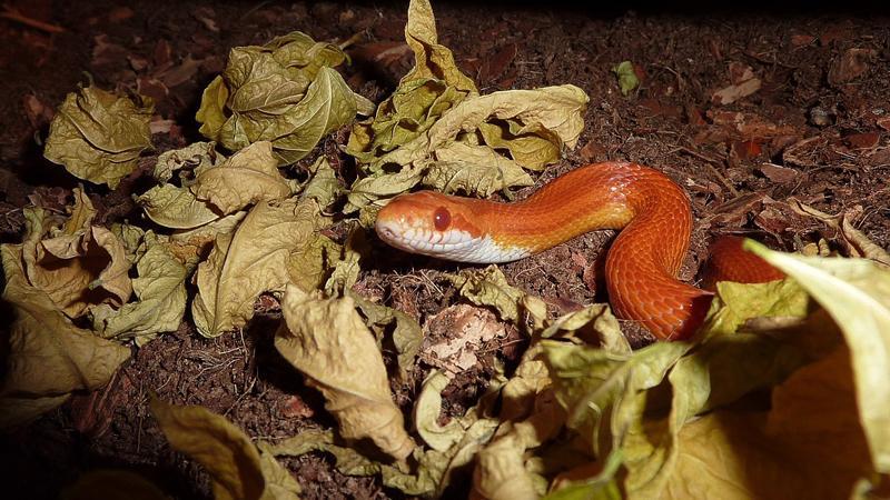 动物世界,玉米蛇,适应各种环境,包括松树林,草原,露天场地,岩石区域等地