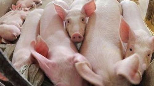 今日生猪价格大范围下跌,2019年12月23日全国猪价行情