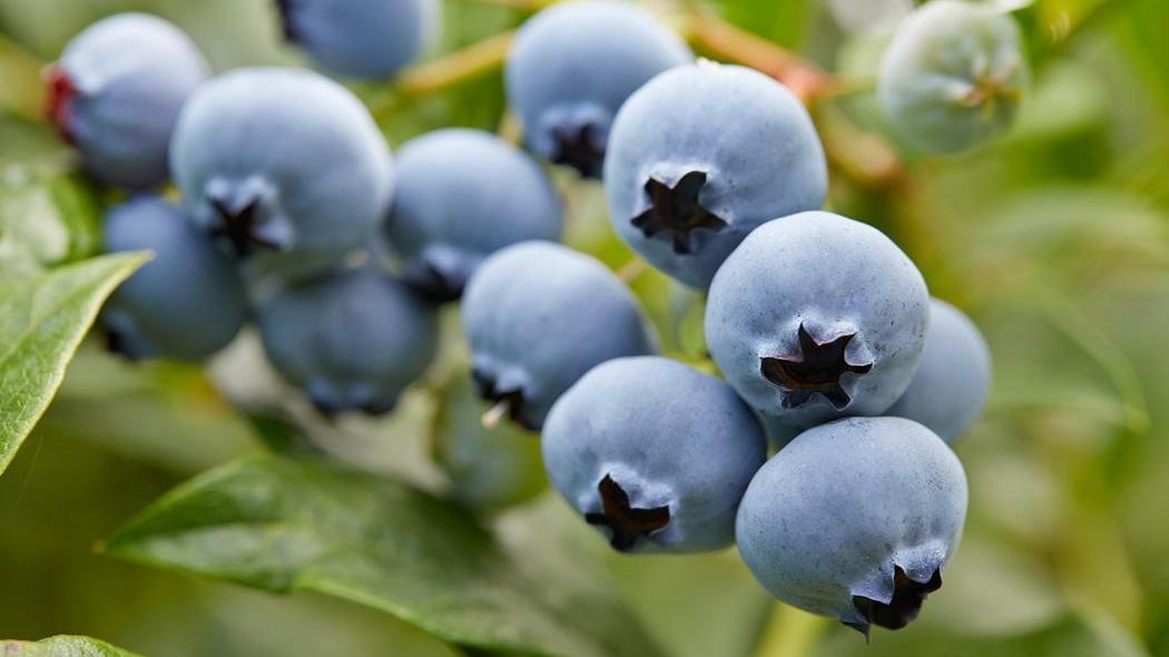 孝昌佳地蓝莓几月份去采摘比较好?蓝莓最佳采摘月份介绍