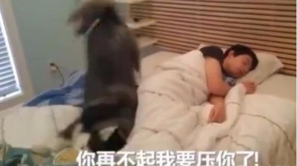 哈士奇叫主人起床,發現床真舒服就和主人一起睡了,果然是二哈