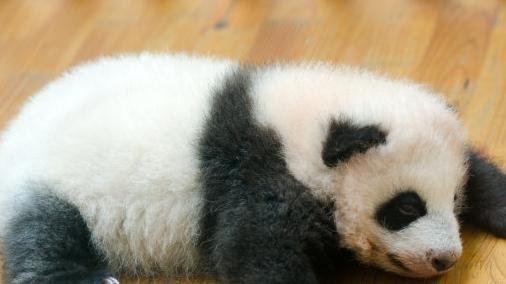 为什么狮子不攻击大熊猫? 熊猫的另一个名字恐怕你没听说过