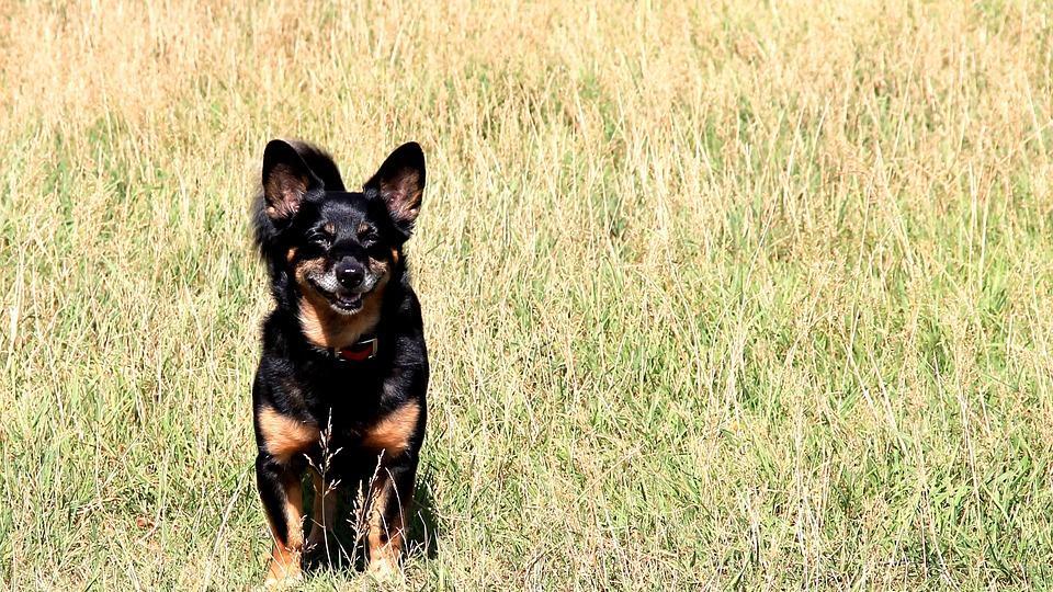 许多患有肝癌的狗是无症状的,使得成为一种难以预防或早期发现的疾病