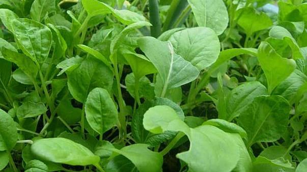 小白菜种植后,良好的田间管理是高产的关键
