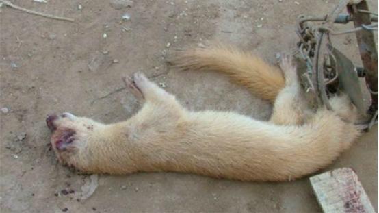 为什么老一辈人会说黄鼠狼不能杀?事实证明他们是对的!