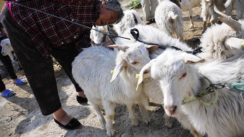 生活中的科学:多少只羊身上的羊绒才够织一件羊绒衫
