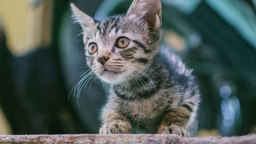 猫咪喝奶粉会拉稀吗?猫咪喝牛奶好还是喝羊奶好?