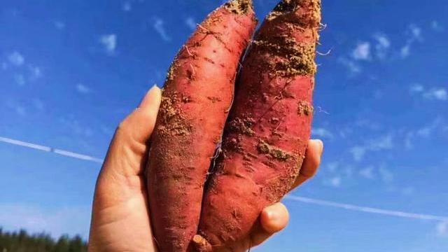 你考北大,他考清华,我烤红薯卖地瓜,吃红薯也得挑黄金时间段