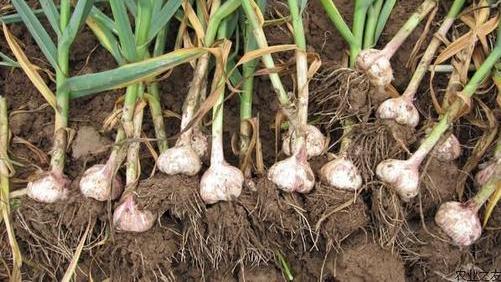 今年的大蒜价格低得无法想象,为啥这么低?农民该何去何从?
