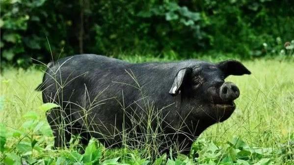 趣味百科:同样是猪,为什么西方猪肉会有骚味?