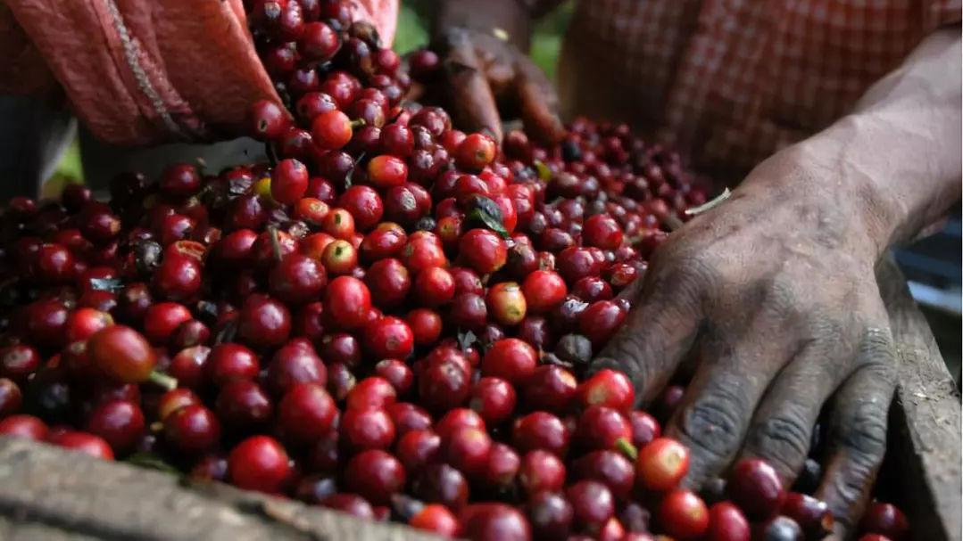 """全球咖啡咖啡豆价格猛涨,去便利店实现""""咖啡自由"""""""