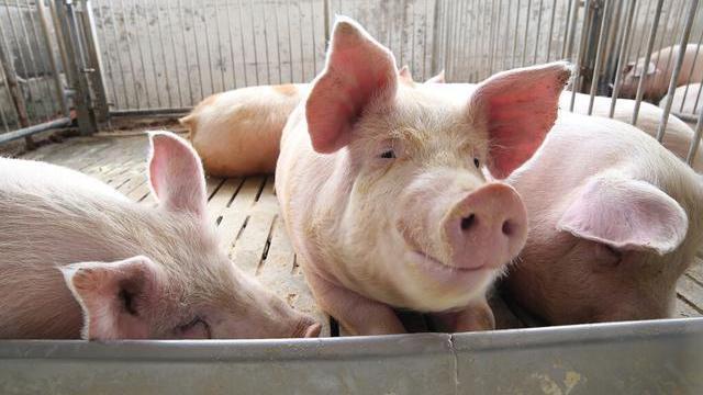 猪价持续下跌,月底能否跌到10元区间?专家回应
