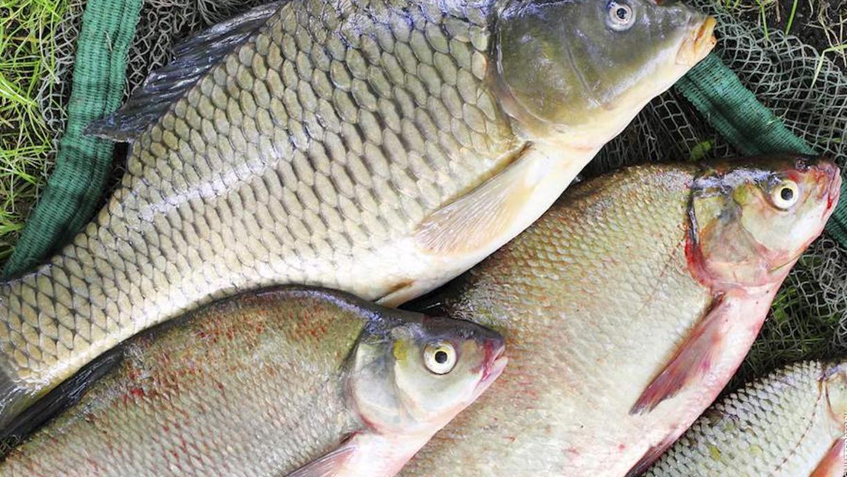 受欢迎的德国淡水鱼,六款拥有美味肉质的鱼类一一呈现