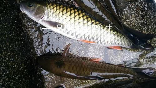 """这种鱼外形像草鱼,肉质鲜美,被誉为""""淡水珍品"""",卖几十块一斤"""