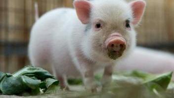 5月11日最新猪价!两会召开在即!三个角度来看5月份猪价走势!