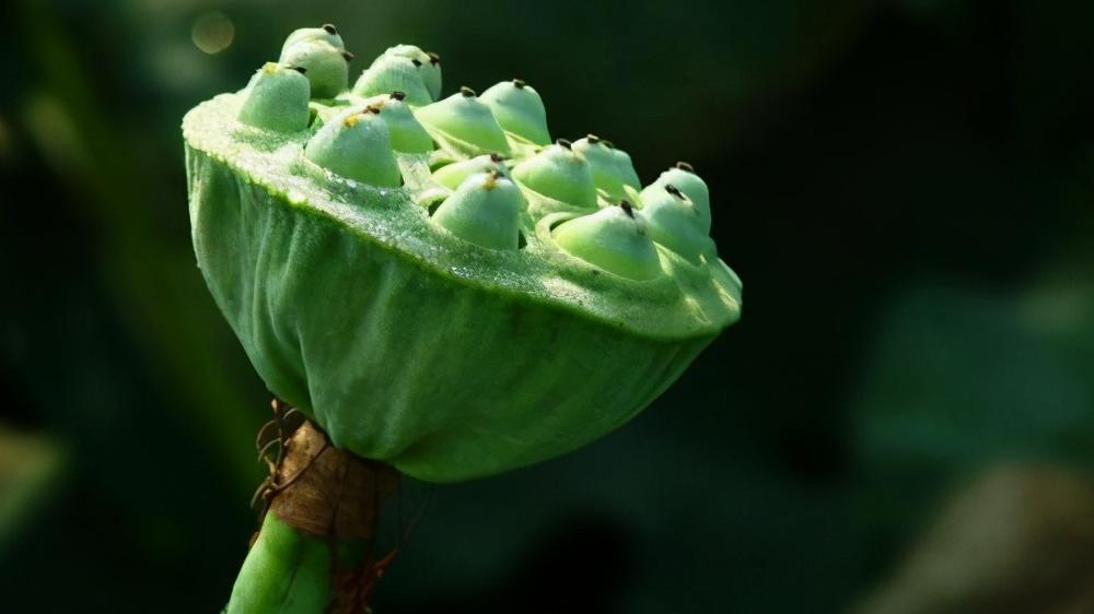 哈密瓜为什么那么甜?因为在秧苗前埋上了苦巴豆,学会先苦后甜