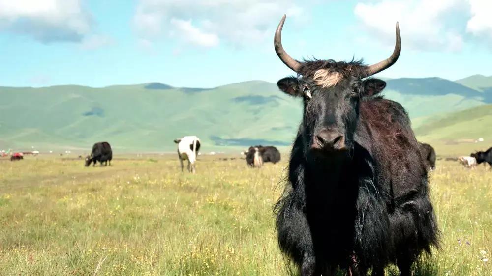 因为信仰,所以纯真——红原牦乳业,牦牛奶粉领跑者