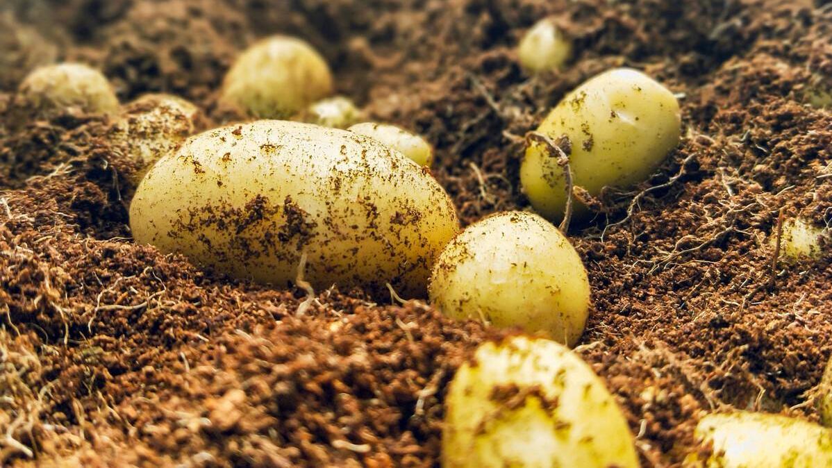 轮椅,农户马铃薯,种苗,轮椅,农户,土豆