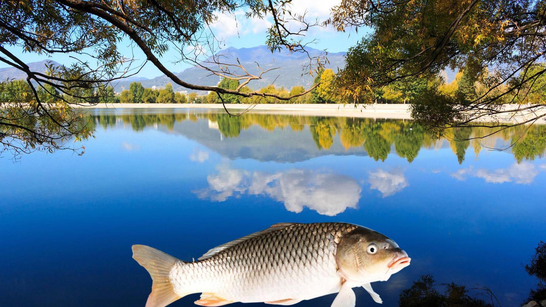 什么物质对鲤鱼的诱鱼效果非常好?钓鲤鱼轻松爆护的四种物质