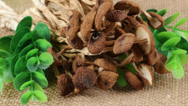 """被称为""""神菇""""的茶树菇被""""神七""""带入太空又回来之后怎么样了?"""