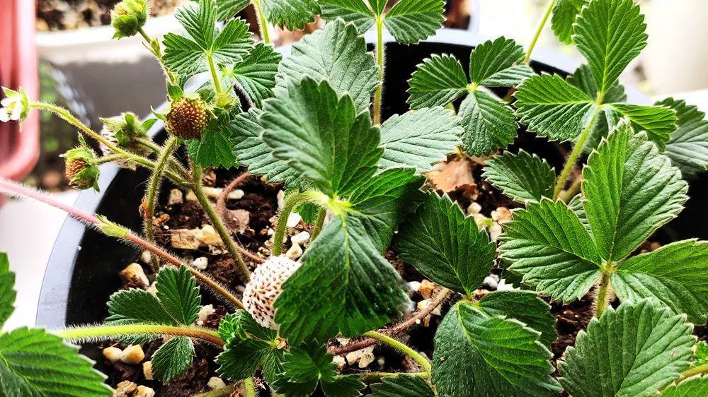 这种野草莓又熟了,山里遇见别错过,自带菠萝香味,市场百元一斤