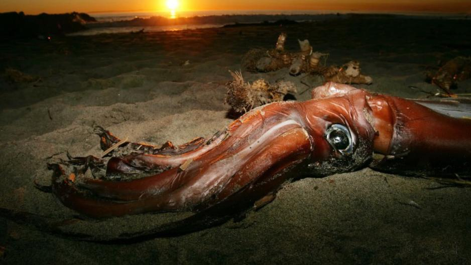 能长到450公斤!为何人类不吃大王酸浆鱿,不能吃吗?