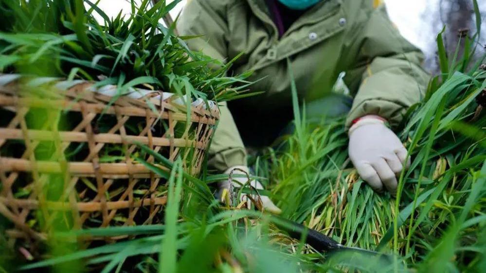 """农村4种可做""""青团""""的野草,比艾草还好吃,清明时节请别错过"""