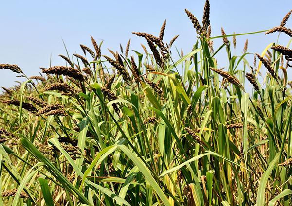 庄稼人见到就要斩草除根的杂草,竟是益气健脾的良药