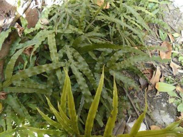 农村老井边的一棵野草,居然是治疗风湿骨病的特效药