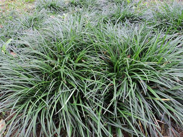 农村路边的一棵杂草,治疗阴虚体弱好的不得了!