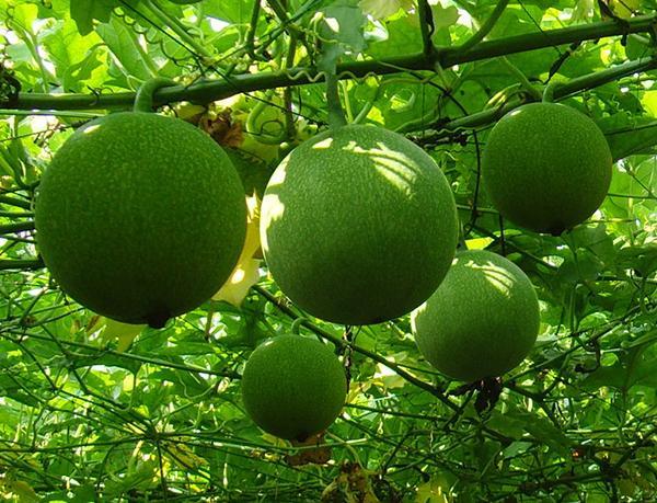 一种农村才有的野果,竟是伤寒杂病论里的重要中药!