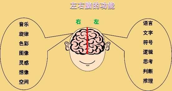 以很清楚的看到左右脑的功能,左脑属于理性,右脑属于感性.-连奥