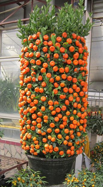 间购买什么样的盆栽观果植物较吉庆
