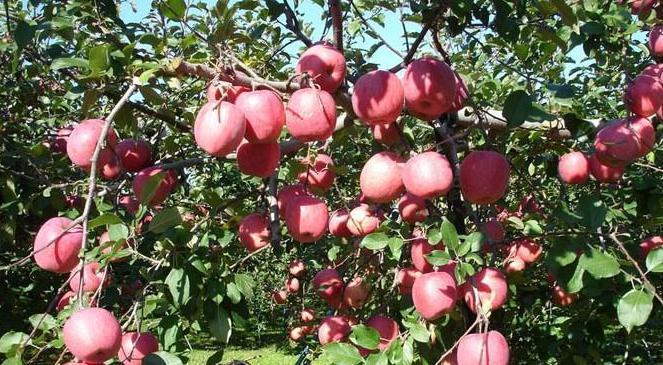 苹果树怎样矮化栽培?