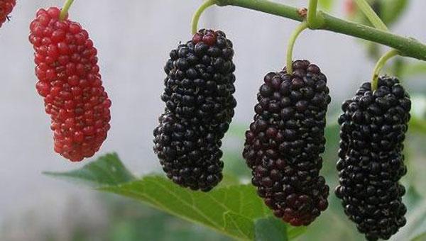 农村树上常见的小黑果,营养是苹果的5-6倍是葡萄的4倍