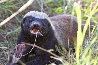 这种动物体型虽小却无所畏惧, 不仅把眼镜蛇当辣条吃