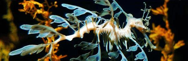叶海龙名字来源及外形特征 中国数量不超5只濒临灭绝图片