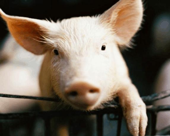 """女:有(大猪)没有(小猪)  可爱的猪 男:除了人,什么动物最爱问""""为什么"""