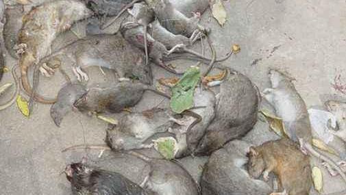 老鼠药根本不用买,地上撒点它,两天家里老鼠就死得干干净净