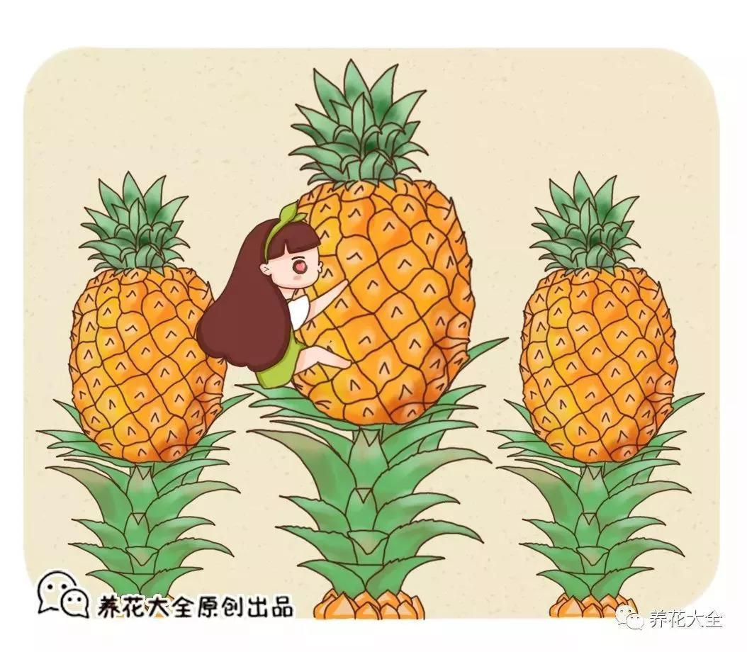 吃剩的菠萝头, 被儿子养在高脚杯, 不用一年长