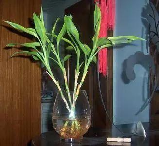 富贵竹在这么炎热的夏天该怎么生存? 富贵竹夏季养护了解一下?